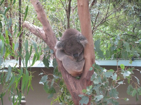 sleepingkoala