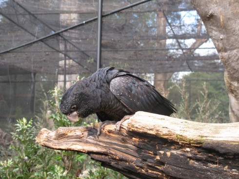blackcockatoo