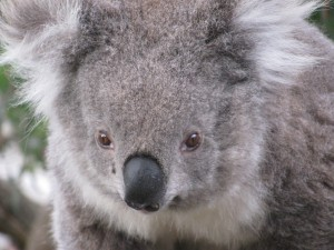 Random photo of cute koala. :-D