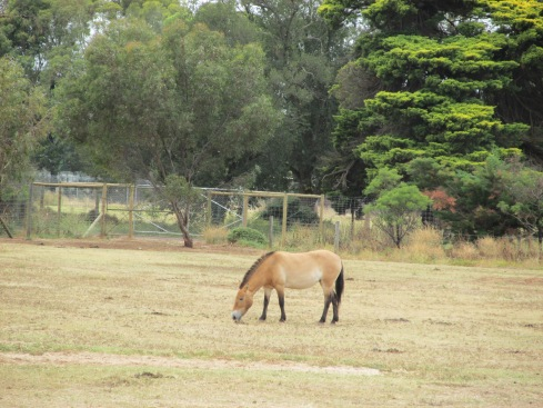 Przewalski horses died out in the wild in the late 1960s. It exists today only because of captive breeding programs and all Przewalski horses alive today are descended from nine horses that had been in captivity in 1945. Fortunately, these horses have been successfully reintroduced into the wild in Mongolia and there are now about 300 wild horses.