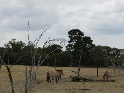 The Przewalski horse, or Mongolian wild horse, is the last truly wild horse in the world and has never been tamed by humans. It is native to Asia and parts of Europe, but being a grasslands animal, has managed to fit in at Werribee.