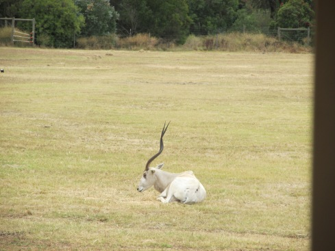 The addax is critically endangered, having been overhunted for its prized meat and skin. Fewer than 500 are thought to exist in the wild today.