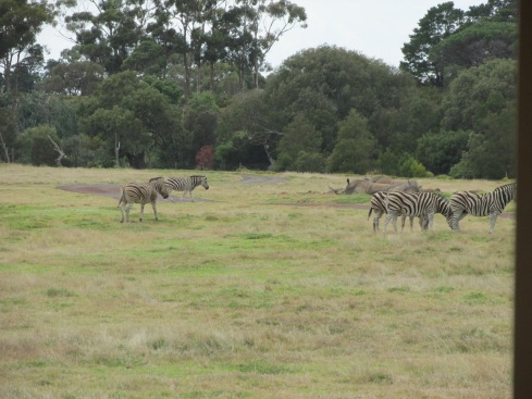 Zebras! I was so excited to see them, but unfortunately, I was on the wrong side of the bus to get very many picture.