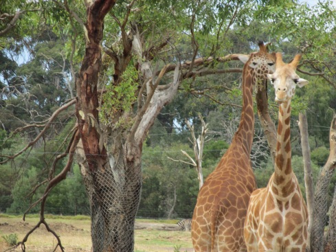 Two funny giraffes. Did you know they have blue tongues? It helps keep their tongues from getting sunburned. Fortunately, giraffes are not endangered. Werribee has about seven giraffes, all male.