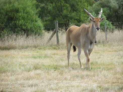 The common eland is a type of African plains antelope. Fortunately, they are not endangered, though their population is decreasing. They are the second largest antelope in the world, after the giant eland.