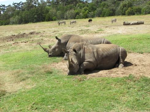 These southern white rhinos were happy to just watch us go by. They are one of five species of rhinoceros that still exist. Their only predator is humans and they are under threat from habitat loss and poaching. Their horns are especially prized on the black market. While a rhino can survive without its horn- their horns are sometimes removed preemptively and very gently to discourage poaching- poachers often hack it off with a chainsaw or machete, causing serious harm to the animal and leaving it to die from blood loss and stress. A rhino's horn is worth its weight in gold on the black market.