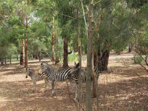 A  whole zebra family and this time they were on my side of the bus! How cute is that baby zebra???