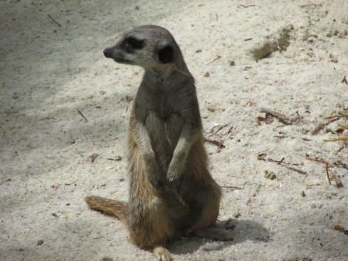Meerkats live in southern Africa and belong to the mongoose family. They are burrowers and can dig up to 400 holes a day. They also appear to be immune to snake and scorpion venom.