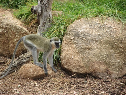 The vervet monkeys were some of the few very active animals we saw. (Most were just resting.) Vervet monkeys exhibit a lot of human-like traits, including very strong kin relationships, anxiety, dependent alcohol use, and spite. They have four predators (leopards, eagles, pythons, and baboons) and have a distinct call for each. They should perhaps develop a call for humans because, while not endangered, they are facing threats from human encroachment, including loss of territory, electrocution, vehicles, and being captured for bush meat, use in traditional medicine, or biomedical research.