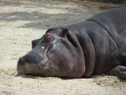 Hippopotamus spend most of their day wallowing in mud or water. In order to keep from getting suburned, their skin secretes a natural sunscreen, which has a pinkish tint to it. Hippos are listed as a vulnerable species. Baby hippos are subject to predation by crocodiles, lions, and hyenas, but adult hippos are left along due to their size and aggressive temperament. They are subject to poaching from humans for their ivory teeth.
