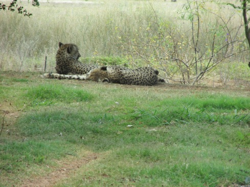 These two cheetahs are two adolescent brothers. Cheetahs are the fastest land animal and can run up to 70 mph or 112 kph.