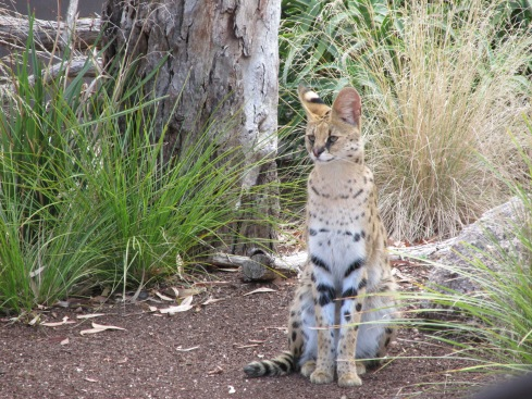 Every day, there is a serval demonstration, where the keeper brings out a serval and gets it to leap around and be adorable while explaining why servals do what they do. I'd love to be able to tell you more about it, but honestly, I couldn't hear anything the keeper said because there was a very rude mother behind me who let her child scream in my ear the entire time. But since most of the animals are not that active during the day, this is one of the few chances you'll get to see one of them doing something other than resting.