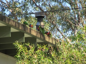 The lorikeets were making a terrible racket! There must have been dozens of them on this person's house and in their yard. I guess they probably have a hard time sleeping in.