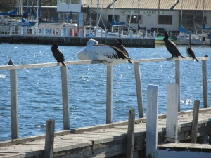 Sometimes I wonder if these birds think humans build piers for their convenience.