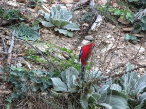 A pretty crimson rosella, doing bird things.