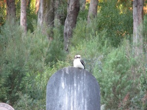 This kookaburra didn't seem to mind at all that his constant laughter was disturbing the peace!